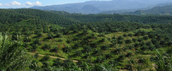 Palm Oil Muscles In On Coconut Farmers In Southeast Asia